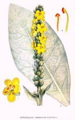 Species: Verbascumthapsus Com. Name: commonmullein      Fam: figwort Life cycle: b
