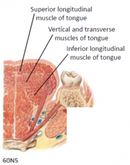 *The Superior Longitudinal muscle curls the tip (and sides) of the tongue superiorly, making the dorsum of the tongue concave. (FYI ONLY!!)