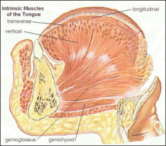 *The Inferior Longitudinal muscle curls the tip of the tongue inferiorly(FYI ONLY!!)