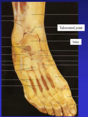 ankle joint tibia and fibula into ankle talocrural joint (ankle joint)