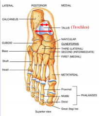 7 tarsal 5 metatarsal 14 phalanges transverse tarsal joint, tarsal-metatarsal joint   calcaneus-- heel bone (sustentaculum tali-- bump holds talus), sulcus between them talus on top (subtalar joint) (trochlea articulates with tibia) (head, neck an...