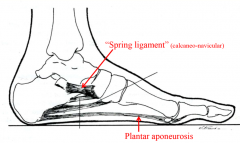 sustains arch of foot along with natural shape of bones plantar aponeurosis also helps