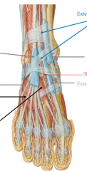 extensor hallucis brevis (calcaneous to extensor hallucis longus tendon) extensor digitorum brevis (calcaneous to extensor digitorum longus tendons)   hard to distinguish these muscles