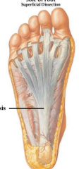 plantar fascia plantar aponeurosis (thickening) tightening when toes are flexed-- maintains arch