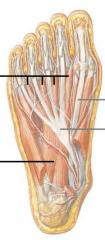 lumbricals (worm) (from flexor digitorum longus to extensor digitorum longus quadratus plantae (heel to flexor digitorum longus tendon)   porta pedis