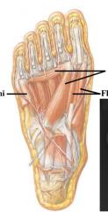 FAF flexor digiti minimi- flexor of outside toe adductor hallucis- transverse and oblique to 2nd toe flexor hallucis brevis- flexor of big toe