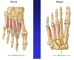 dorsal DAB abduction   plantar PAD adduction none on 2nd toe (gets two from abduction)