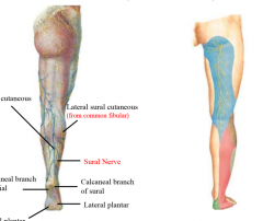 posterior cutaneous nerve of the thigh saphenous nerve (medial) sural nerve (calf)