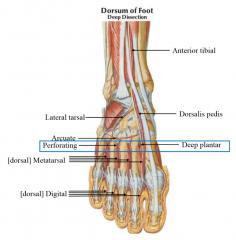 anterior tibial todorsalis pedis to deep plantar AND lateral tarsal branch, arcuate (arch) dorsal metatarsal and dorsal digital   perforating to plantar surface