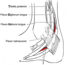 flexor retinaculum covers medial ankle (tom dick harry-- tibialis posterior, flexor digitorum and flexor hallucis longus)   extensor retinaculum (sup/inf) covers anterior ankle   fibular retinaculum (sup/inf) covers lateral ankle