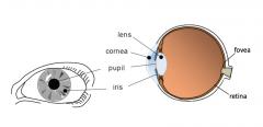 Fovea is a protion of the retina      The lens, cornea and pupil and iris focus light onto the retina