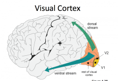 What does the ventral stream of the visual cortex tell you?