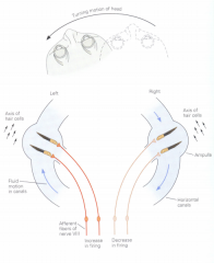 Causes CW endolympth fluid movement      Causes the stereocilia to be pushed towards the kinocilium in the left semicircular canal = excitation      Causes the stereocilia to be pushed away from the kinocilium in the right semicircul...