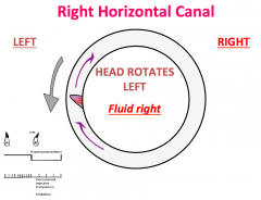 The fluid goes to the right      The stereocilia are away from the kinocilium so it hyperpolarizes