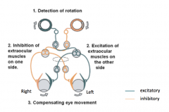 A CW head movement allows for a CCW eye movement      There is an inhibition of extraoccular muslces on one sisde and excitation of extraocular muscles on the other sides