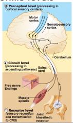 1) Receptor level - the sensory receptors...input      2) Circuit level - Ascending pathways ... relay      3) Perceptual level-neuronal circuits in the cerebral cortex
