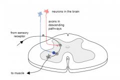 Sensory receptor --> Interneuon --> Motor neuron/muscle