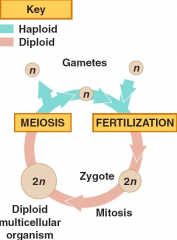 •2 gametes get together for fertilization •zygote is formed which will undergo mitosis •it'll grow up as an adult then do through meiosis •cycle will then start over again