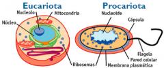 Su tamaño es mucho mayor y en el citoplasma es  posible encontrar un conjunto de estructuras celulares que cumplen diversas  funciones y en conjunto se denominan organelas celulares.