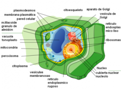 La célula vegetal es la unidad básica, anatómica, fisiológica y de origen de un organismo vegetal. Se caracteriza por poseer Pared celular, Plastidios, Cloroplastos y grandes Vacuolas.