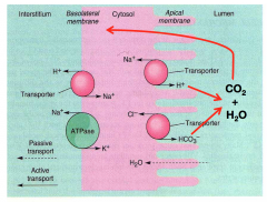 Most H2O absorption occurs from lumen across apical membrane of epithelial cells via Na+/H+ and Cl-/HCO3- exchangers  In the lumen H + HCO3 -> H20 + CO2 which then diffuses back in to cells.  Active secretion of Na into paracellular space occur...