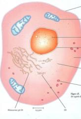 En celle som indeholder: - Indeholder en kerne med arvematerialet - Arvematerialet findes i kromosomer - Har afgrænset organeller - Mitokondier og kloroform - Cellemembran - Ribosomer - Valkuoler - ER