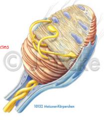 - Lamellenartig aufgeschichtete, eingekapselte Zellen - Besonders Dicht: Hände, Füsse (Innenflächen) - Mechanische Verformung