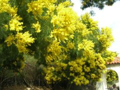 Family: pea family Species: dealbata, longifolia Common Names: acacia, mimosa, wattle Availability: October through March Vase life: 4-5 days in a cooler
