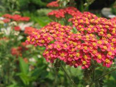 Family: Sunflower family Species: filipendulina, millefolium Common Names: yarrow, milfoil Availability: July through September Vase life: Long lasting, 7-10 days
