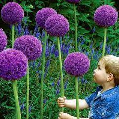 Family: Lily   Species: giganteum, sphaerocephalon   Common Name: allium, onion flower, garlic   Availability: April through September   Vase life: 5-10 days