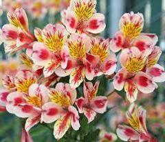 Family: Alstroemeria   Species: heamantha, aurantica, pelegrina   Common Name: alstroemeria, alstro, Peruvian lily, Inca lily   Availability: Year-round   Vase life: Long lasting, 2 weeks