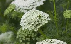 Family: Carrot   Species: majus   Common Name: Queen Anne's lace, bishop's weed   Availability: year-round   Vase life: 3-5 days