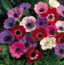 Family: buttercup   Species: coronaria   Common Name: windflower, lily of the field, poppy anemone   Availability: October through May   Vase life: 3-7 days, keep cool.