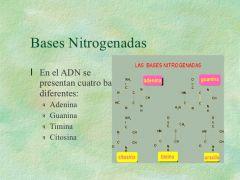 Púricas: Adenina y Guanina. Purimidínicas: Timina y Citosina.