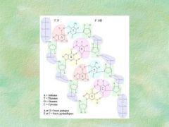 Estructura primaria: Los carbonos del azúcar se identifican por medio de los números 1, 2... hasta el 5. Estos números son muy útiles para señalar sus puntos de unión del carbono con otras moléculas. En la molécula del ADN los nucleótidos...
