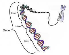 Gen: Es una secuencia de ADN que constituye la unidad funcional para la transmisión de los caracteres hereditarios. Cromosoma: Los cromosomas son capsulas que guardan a los genes y al material de desecho.