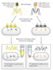 Used phages with radioactive DNA & Protein. The phages will inject their genes into the bacteria & leave ghost phages (their bodies). The ghost phages are then removed with centrifugation. The radioactive DNA would go to the bottom and the radioac...