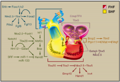 *Tbx1 is the only one she mentioned; an important transcription factor for the outflow tract.