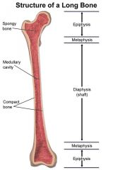 Long Bone Anatomy- Proximal Epiphysis