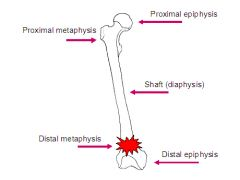 Long bone Anatomy-Distal Epiphysis