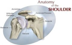 Long bone Anatomy- Articular Cartilage