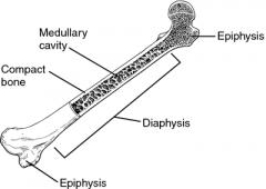 Long Bone Anatomy-Diaphysis