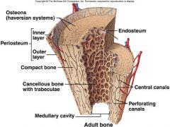 Long bone Anatomy-Periosteum