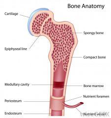 Long bone Anatomy-Epiphyseal Line