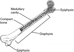 Long Bone Anatomy- Medullar Cavity