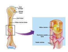 Long Bone Anatomy-Yellow Bone Marrow