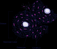 Microscopic Structures of Bone-Osteon
