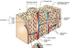 Microscopic Structures of Bone-Haversion Canal