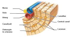 Microscopic Structures of Bone-Lacunae