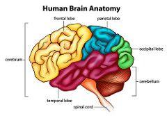 plus insular lobe midbrain+ pons + medulla oblongata